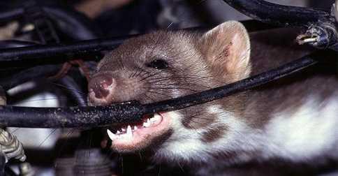 Hướng dẫn xua đuổi chuột và bẫy chuột trên xe ô tô
